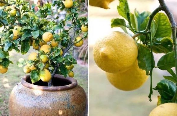 Come coltivare il limone in casa in queste 7 semplici mosse!