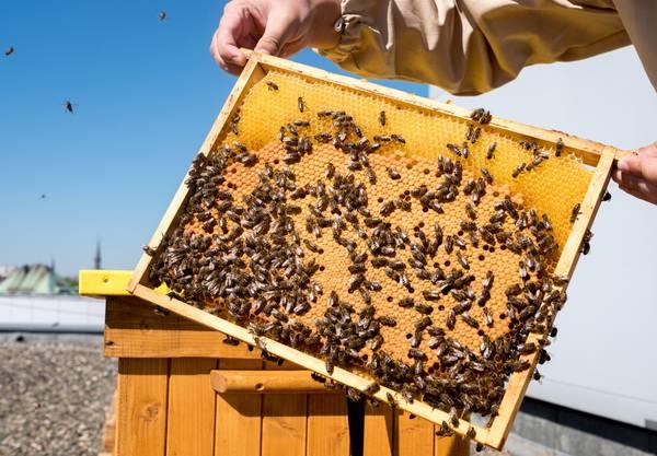 Batteri geneticamente modificati per proteggere le api che producono miele
